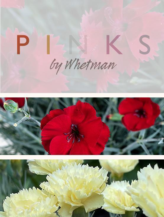 Pinks by Whetman